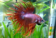 Junger Betta Splendens. Flossenform: Crown Tail