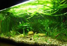 Kampffisch Aquarium Einrichten