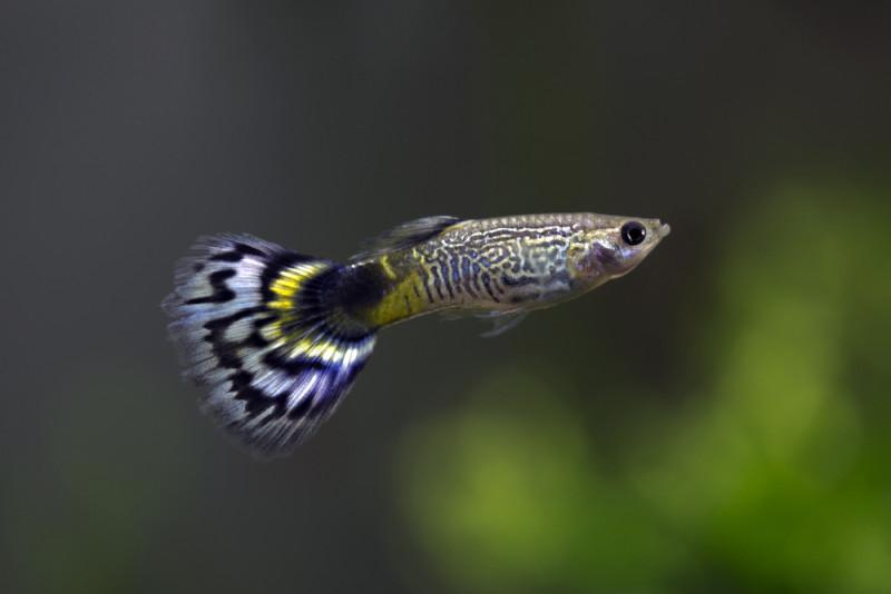 Guppy und kampffisch vergesellschaften for Kampffisch futter