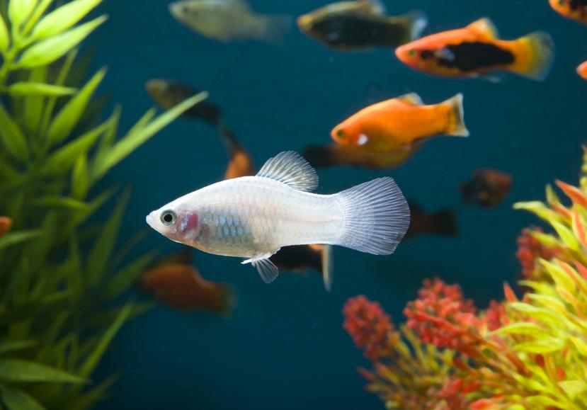 Platy und kampffisch vergesellschaften for Kampffische arten