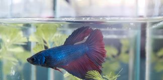 Kampffisch Kaufen